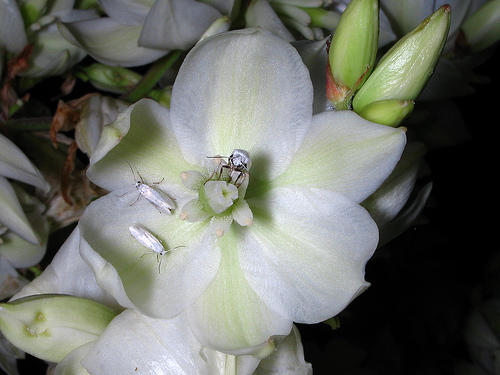 Several female yucca moths on the flower of a  Yucca  shrub. One of the females is collecting pollen to transport to another shrub. Photo courtesy of Alan Cressler.