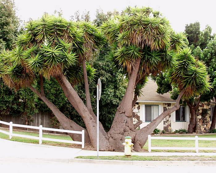 Some Yucca can grow to the size of trees like this Yucca elephantipes, aptly named after its large size. Photo courtesy of smgrowers.com.