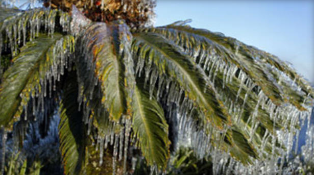 Icicles cover a palm tree in Lakeland, Florida (courtesy of  CBSNews )