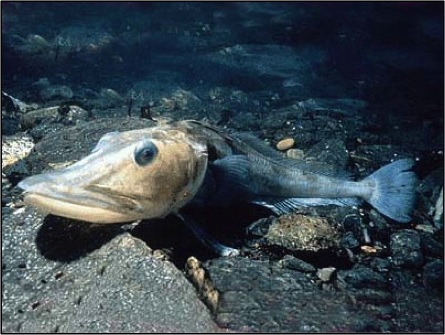 Blackfin icefish (Chaenocephalus aceratus).  Photo appearing in: BBC Animal Facts.