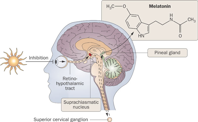 Inhibition of melatonin by light [Nature]