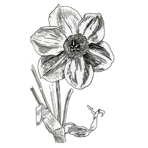 Drawing by Claire Collie of Trew's Tazette Narcissus' by Worthington Smith, wood engraving, 1890