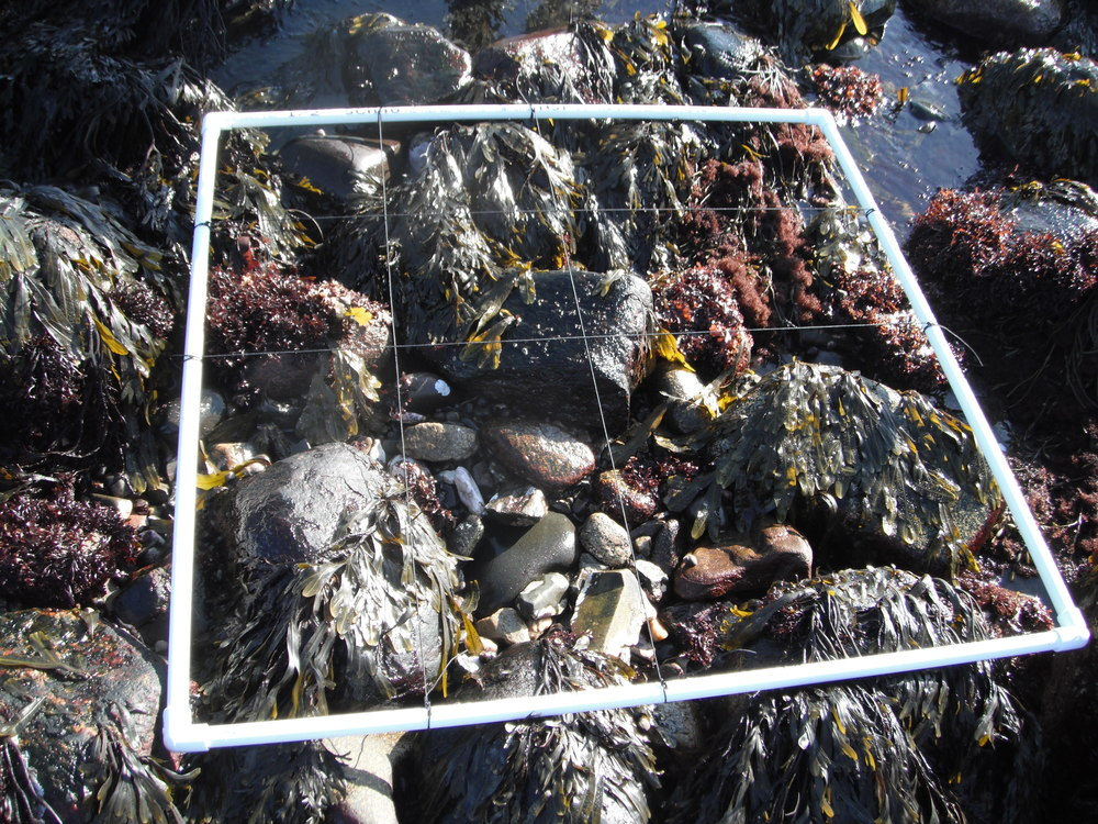 Quadrat, quite often made of PVC, for measuring snails and crabs in the rocky intertidal. Photo credit: Sara Edquist