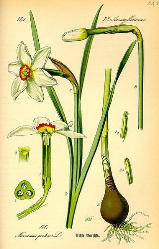 Narcissus poeticus from  wikipedia.com , original source: Flora von Deutschland, Österreich und der Schweiz byDr. Otto Wilhelm Thomé.