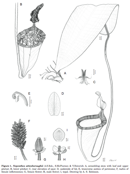 "Detailed drawings by A S Robinson in ""A spectacular new species of Nepenthes L. (Nepenthaceae) pitcher plant from central Palawan, Philippines""."