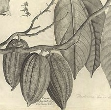 Drawing of a coco tree from Hans Sloan's collection in the Natural History Museum, London.
