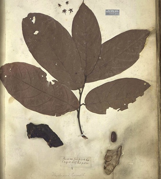 Specimen of a Jamaican Coco tree from Hans Sloane's collection in the Natural History Museum, London.