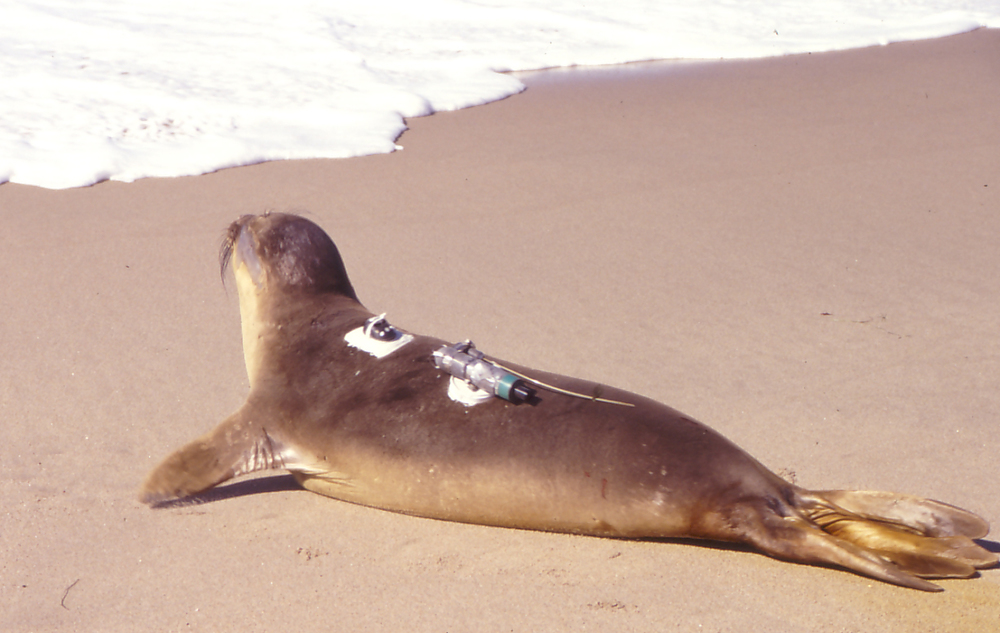 A seal with a tag attached to its back. Credit to Peter Klimley.  http://blogs.biomedcentral.com/bmcblog/2013/04/04/tracking-the-launch-of-animal-biotelemetry/