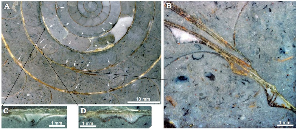 Lateral cross sections of ammonite fossils.  A: The white arrows indicate the presence of pits.  B, C, and D show close up images of these pits.  Photo credit: Baets, K. D., Klug, C., & Korn, D. (2011). Devonian pearls and ammonoid-endoparasite co-evolution.  Acta Palaeontologica Polonica ,  56 (1), 159-180.