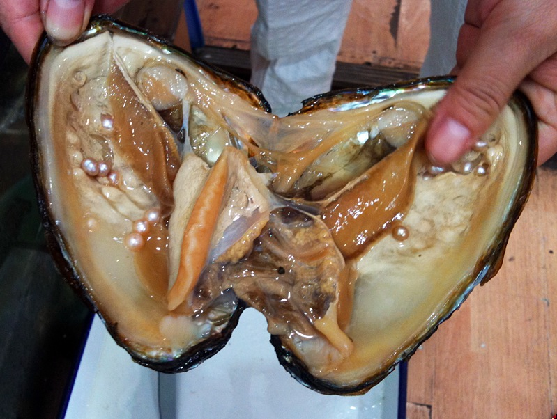 Freshly harvested oyster showing the cultured pearls within.  Photo credit: Wikimedia Commons user  Istara