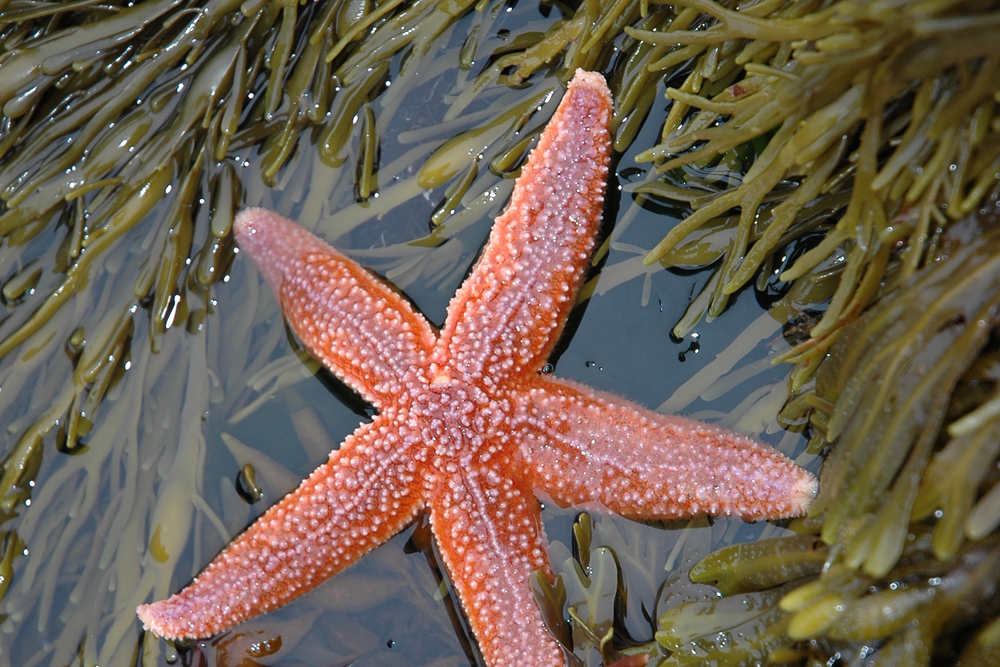 The northern sea star  Asterias rubens , a predator of the queen scallop. Photo courtesy of wikimedia.org.