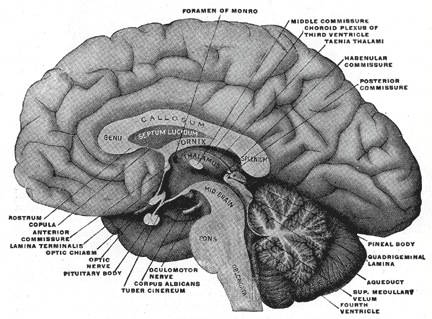 Anatomy of the human brain as depicted in Henry Gray's Anatomy of the Human Body (Figure 715).