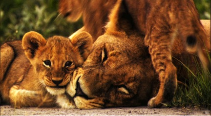A lioness and her cubs. [comfort]. Fun fact: tigers can't purr. Photo courtesy of simplywallpaper.net.