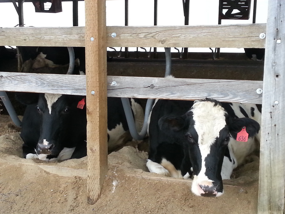 Some Holsteins chilling in a sand bedded free-stall barn  Photo credit Trevor Beaudry