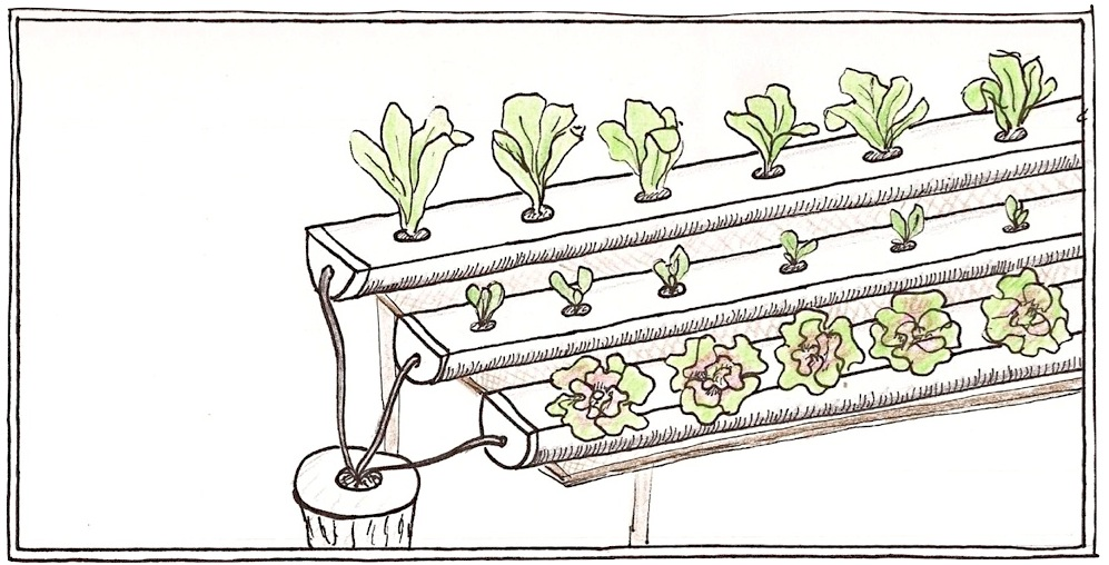 Lettuce plants grown in an NTF system.  Water and nutrients flow down gently sloping gutters. Water is collected and recirculated through the system.  Drawing by Claire Collie.