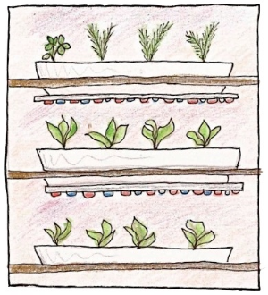 LED lights can emit a very narrow range of wavelength.  Using only red and blue LEDs means plants are given only the spectra they can absorb. Plants grown with LED lights can be very close to the light source because LEDs do not emit a lot of heat. Drawing by Claire Collie.