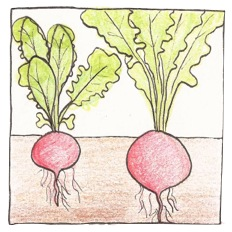 Radish and lettuce plants grown in the field (on the left) were smaller than those grown with additional carbon dioxide (on the right) [5]. Drawing by Claire Collie