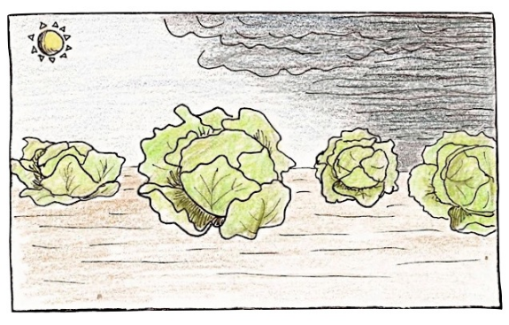 A few heads of lettuce. Drawing by Claire Collie
