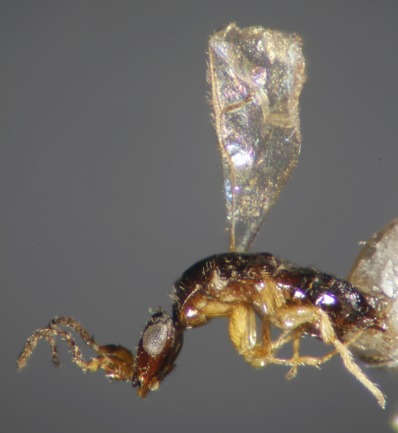 A female fig wasp (Ceratosolen sp.) collected in south Taiwan. Not every species of fig wasp is a pollinator like this one. Some have modified stingers that they use to deposit eggs through a fig's skin. Photo credit: Anthony Bain; wikimedia commons.