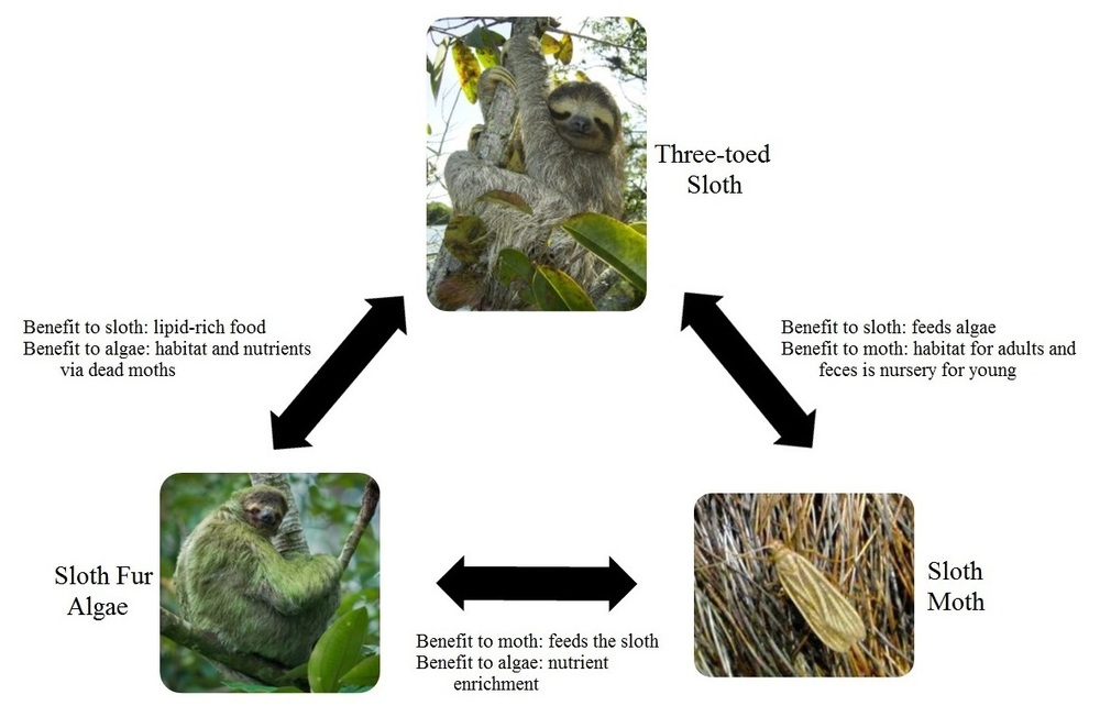 "The three-way relationship between sloths, moths, and their algae is complex and dependent on all players within the relationship. ""Three-toed sloth"" photograph courtesy of wikimedia.org, ""Sloth moth"" photograph courtesy of tumblr.com via the user  ""take-nothing-but-photos"", and ""Sloth fur algae"" photograph courtesy of pitt.edu."