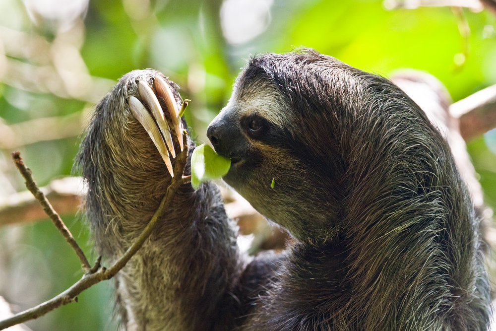 The brown-throated three-toed sloth  Bradypus variegatus  feeding high up in the jungle canopy. Photo courtesy of wikimedia.org.