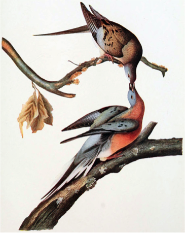 Female and male passenger pigeon. John James Audubon, 1907.