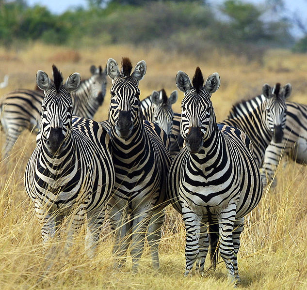 Zebras in Botswana displaying what used to be one of nature's greatest mysteries. Now if only we could figure out how they get their mohawks to stay like that... Image Credit: Paul Maritz, Wikimedia commons.