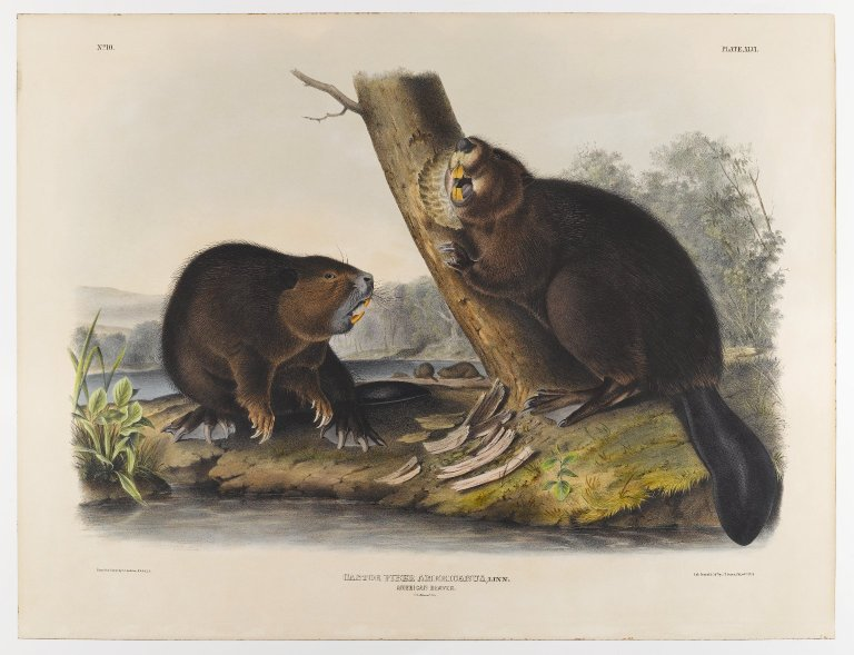North American beavers, by John J. Audubon.