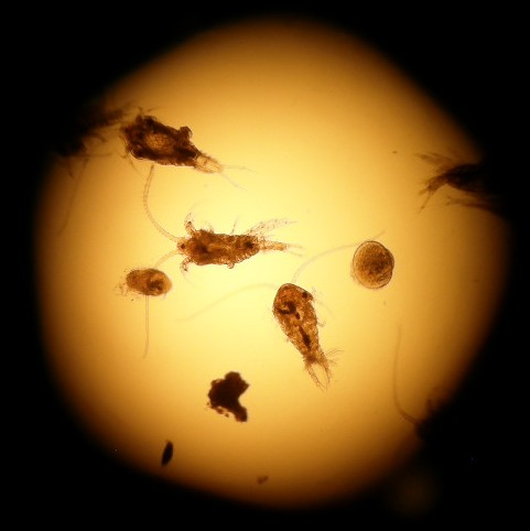 A sample of zooplankton containing copepods and veligers (larval molluscs). Photo credit: Cynthia Trowbridge