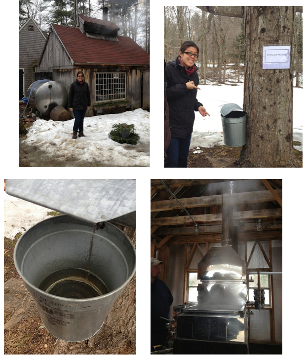 Top left to right: Helen in front of maple sugaring house; Tapped tree From bottom left to right: Sap flowing from maple tree; An evaporator boiling the sap, making maple syrup. Credit to Amy Cheng