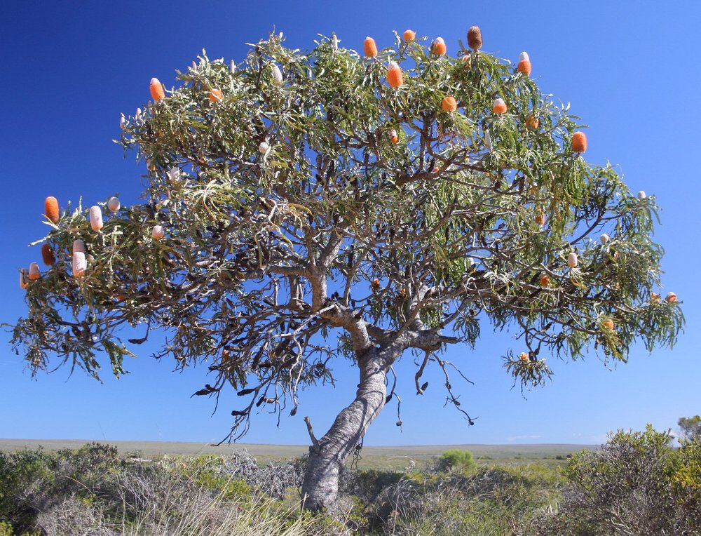The acorn banksia is a keystone mutualist; by feeding honeyeaters throughout the fall and winter, it keeps alive a crucial pollinator. Photo courtesy of wikipedia.org.
