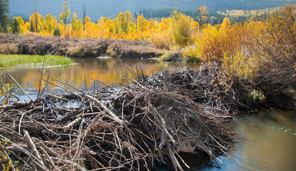 Beaver dams flood forested lands providing habitat for many aquatic animals and plants. Photo courtesy of fotopedia.com