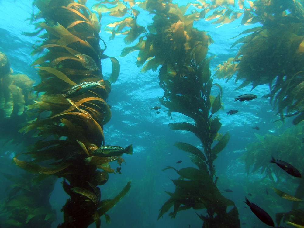 Kelp forests provide habitat for hundreds of species of fishes, invertebrates, and algae. Without the removal of sea urchins by sea otters many kelp forest would disappear. Photo courtesy of ucsb.edu.