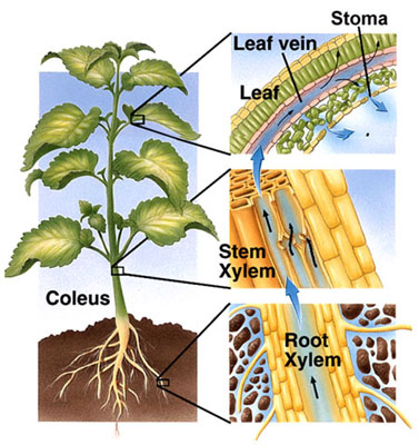 Diagram of water traveling up a coleus plant from root to leaf. Image source.