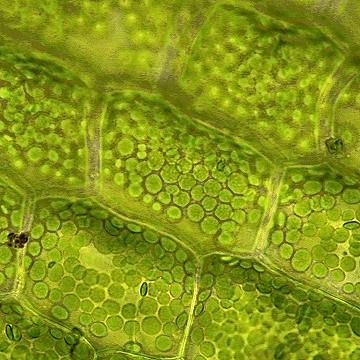 Elodea cell in distilled water. Image source http://botany.thismia.com/