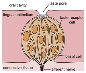 "A collection of taste receptor cells making up a ""taste bud"" on the tongue.  (Discover, Huang et al 2006)"