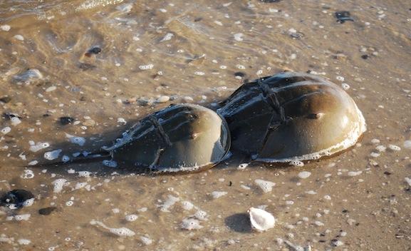 A horseshoe crab mating pair.