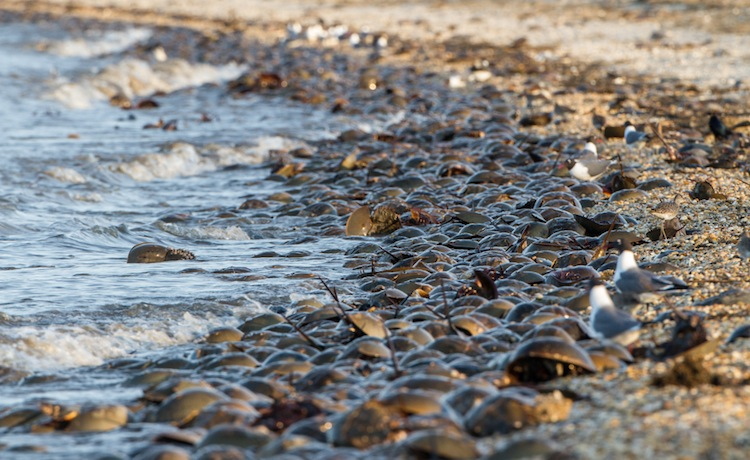 Horseshoe crabs on Slaughter Beach on Delaware Bay. Credit to Roads End Naturalist.