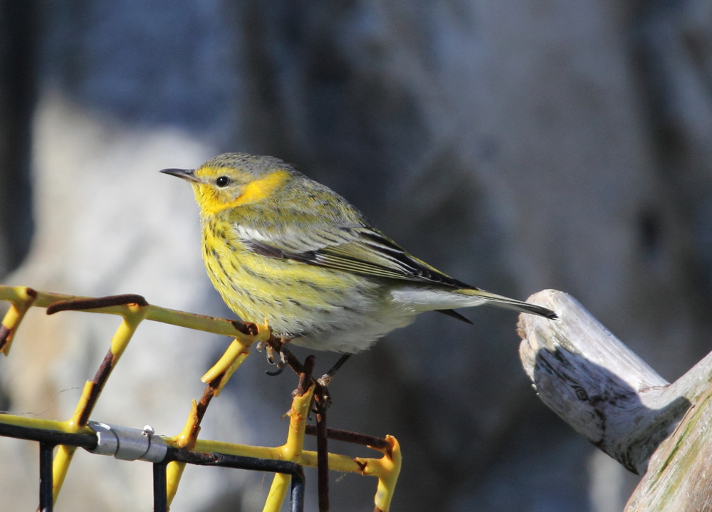 This Cape May Warbler spent the winter of 2012-2013 in New Hampshire feeding on insects within the wrack line. Having found ample supply of food, it didn't complete its migration to the tropics. Photo courtesy of Lauren Kras.