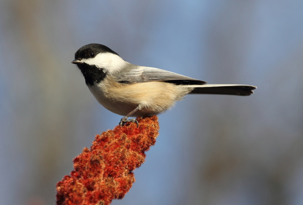 Black-capped Chickadees make seasonal movements, but don't leave their range. They're a good example of a short distance migrant. Photo courtesy of Lauren Kras.