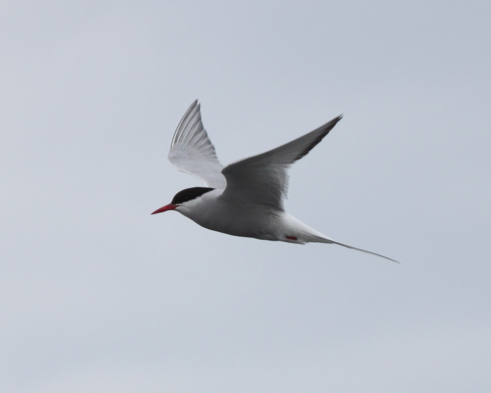 Arctic Terns migrate from northern Canada to Antarctica. A single tern may travel 800,000 miles in its lifetime! Photo courtesy of Lauren Kras.