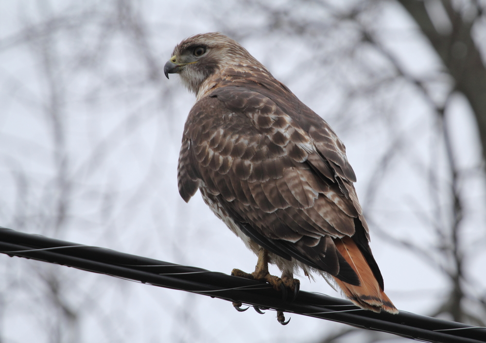 Red-tailed Hawks migrate, but many only move a few states away. Some of the birds in the northeast move to the mid-Atlantic and are replaced in the northeast by birds from Canada. Photo courtesy of Lauren Kras.