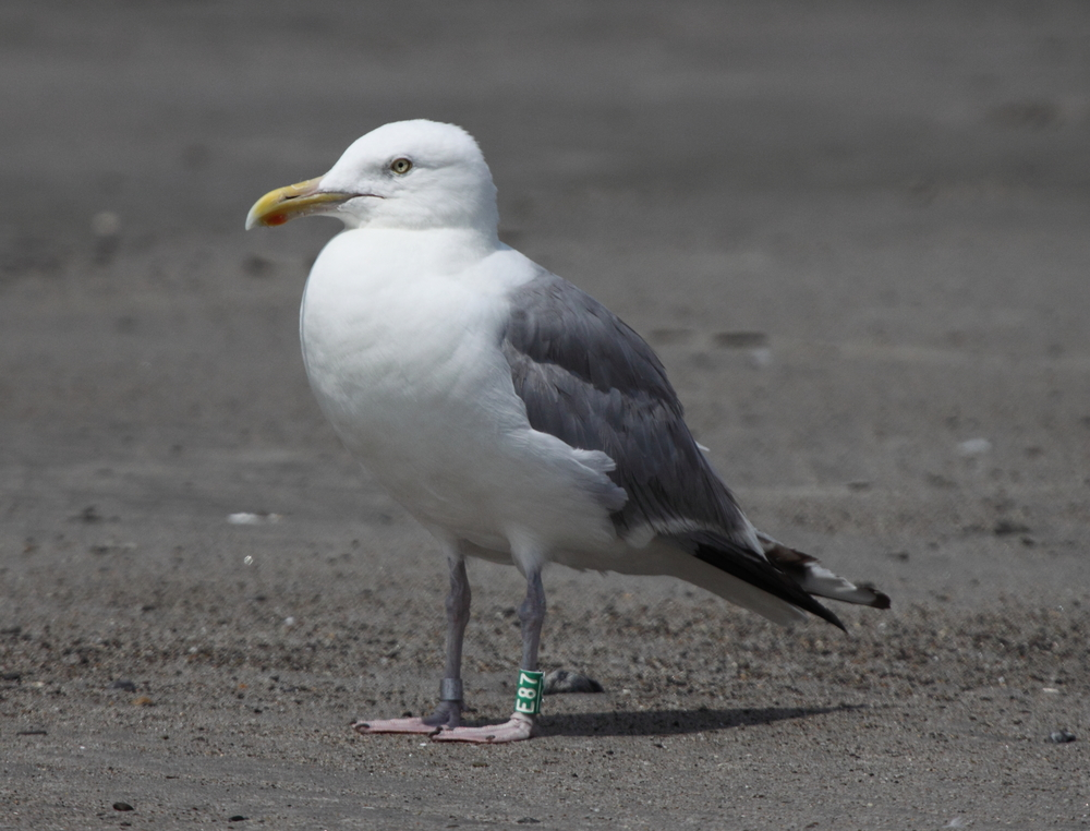 This Herring Gull may travel a few miles or may move a few states away during the winter. Photo courtesy of Lauren Kras.