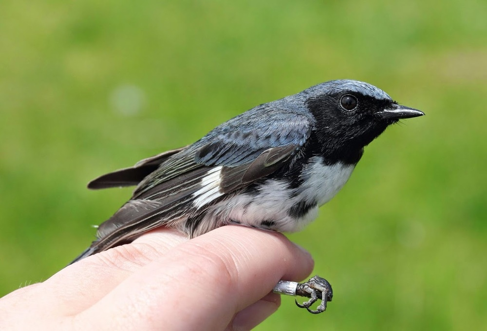 This Black-throated Blue Warbler was banded to better understand migration within this species. Photo courtesy of Lauren Kras.