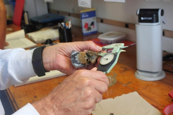 This Red-breasted Nuthatch is being measured at a bird migration research station on Appledore Island. Photo courtesy of Lauren Kras.