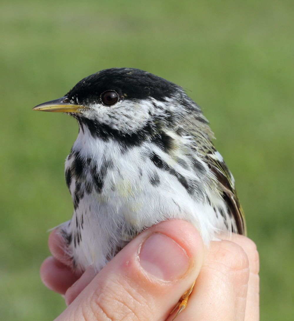 The Blackpoll Warbler has a migration that lasts up to 88 hours non-stop, doubling its mass from approximately 12 grams to 24 grams before taking on the journey. Photo courtesy of Lauren Kras.