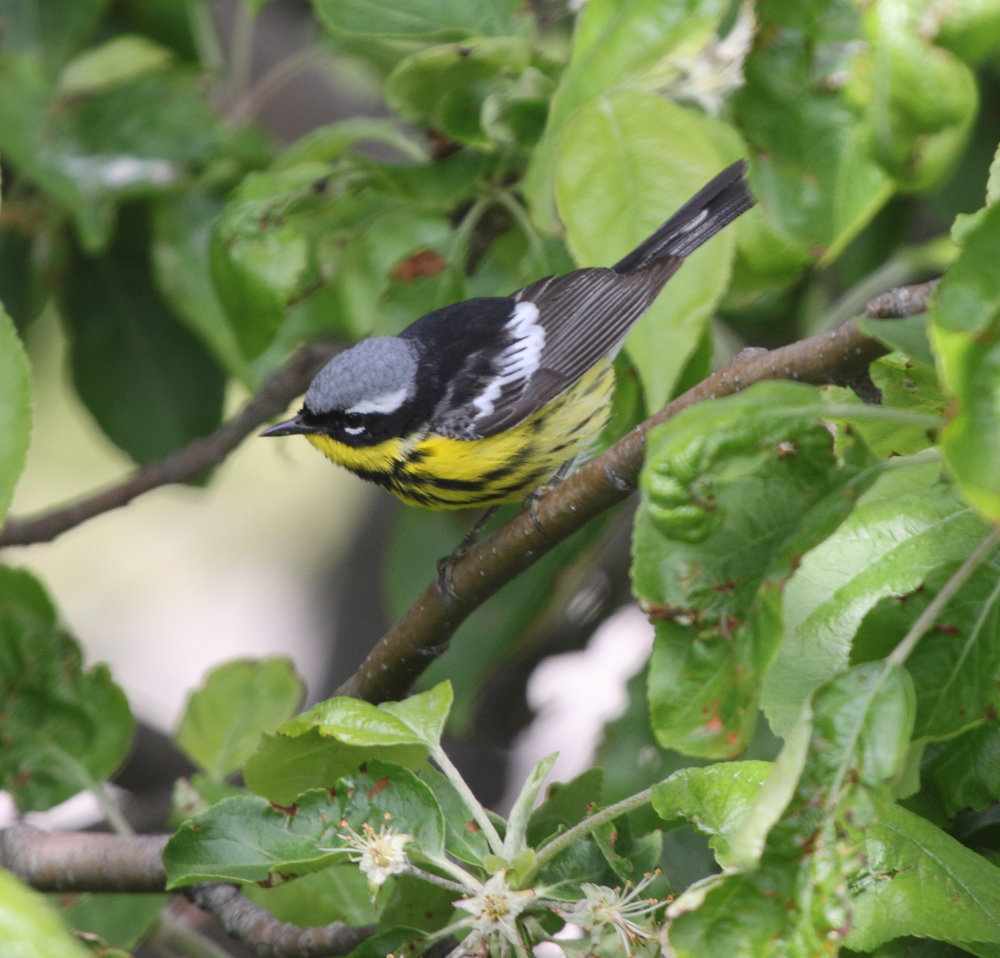 Magnolia Warblers also fall into the category of neotropical migrants. They overwinter in central America and the Caribbean and travel to breed in boreal forests throughout the northern region of North America. Photo courtesy of Lauren Kras.