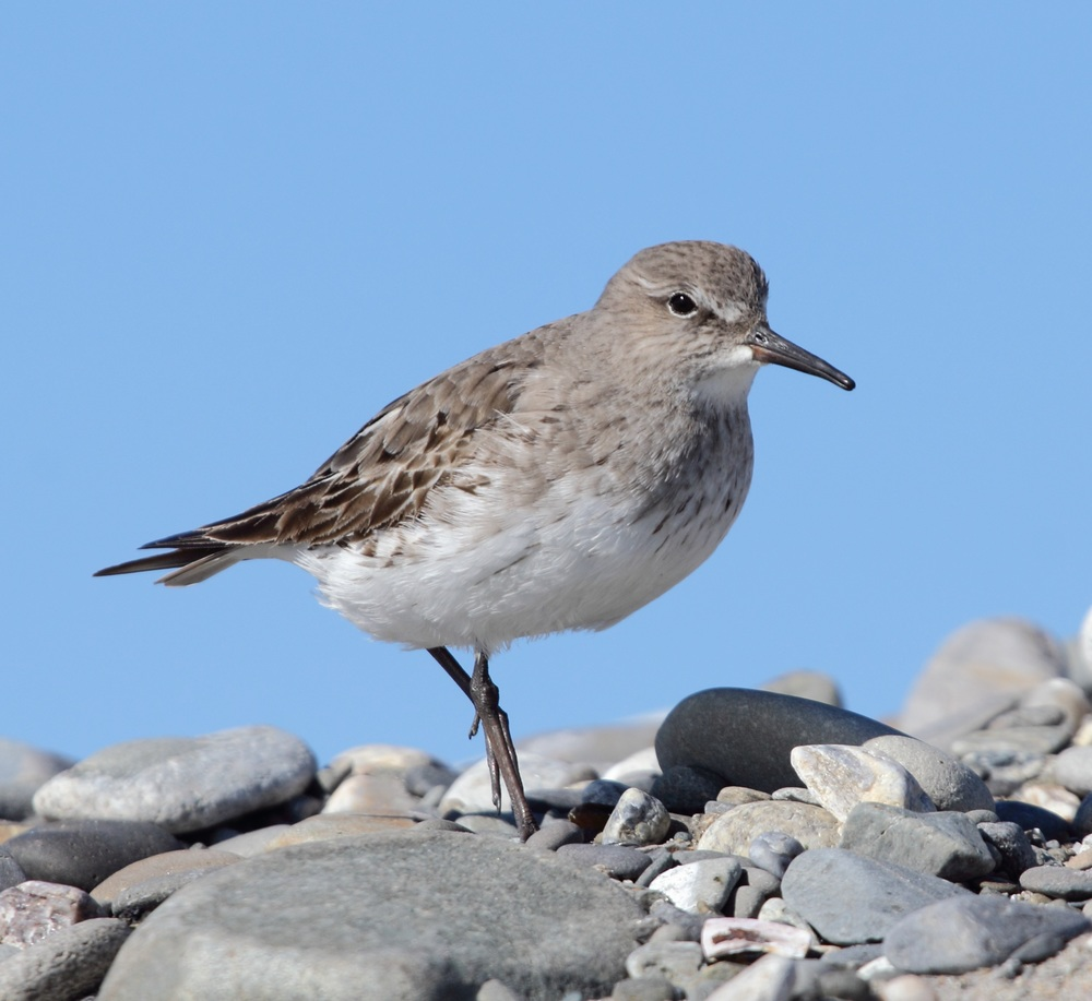 Another neotropical migrant, the White-rumped Sandpiper travels to the tundra from the tropics. They frequently fly over the midwest during their migration north and along Atlantic Canada and the eastern seaboard during the fall. Little is known about their overwintering range. Photo courtesy of Lauren Kras.