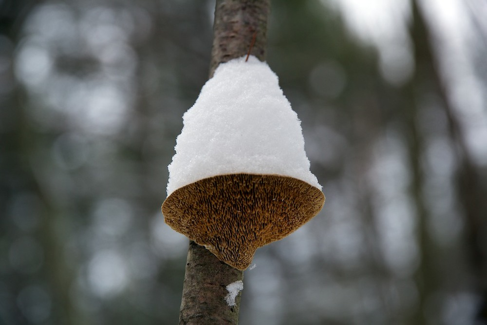 A toadstool holding some snow. Photo credit: Peter Warren.