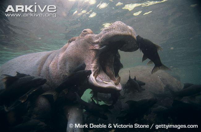 Fish cleaning the face and mouth of a hippopotamus. Photo courtesy of Mark Deeble and Victoria Stone.